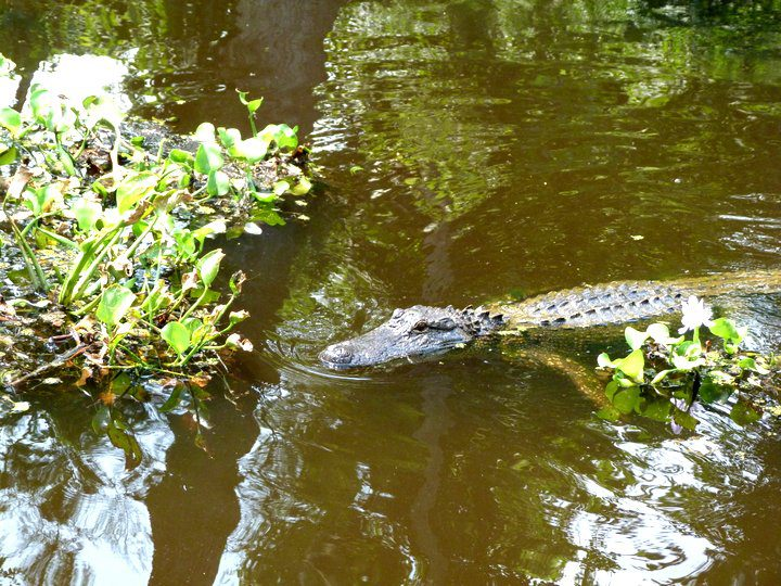 Alligator Encounters on a New Orleans Swamp Tour
